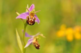 L'Ophrys abeille, une des orchidées de nos pelouses, dont les fleurs simulent un insecte.